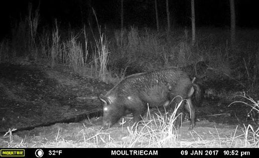 big hog at night