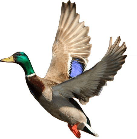 Vallambrosa Outfitters Flying Duck